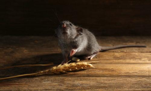 Preventívna-celoplošná-deratizácia-–-Bratislavský-kraj---potkan